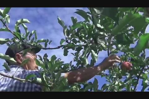 台風21号前りんご収穫