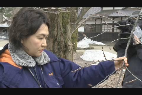 弘前公園さくら開花予想2019-1