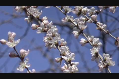 弘前公園さくら開花予想4