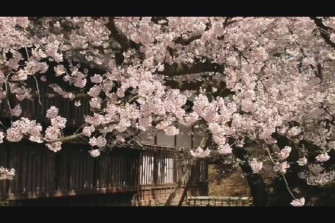 スーパースロー桜