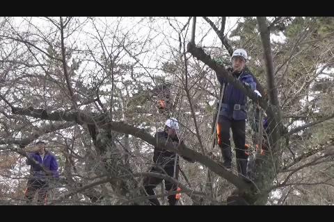弘前公園桜剪定作業