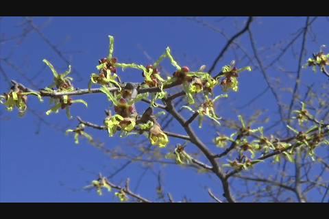 マルバマンサク開花