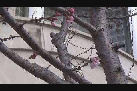 十月桜2020春