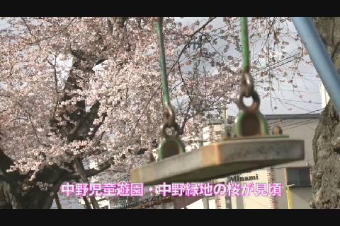 2020中野公園の桜