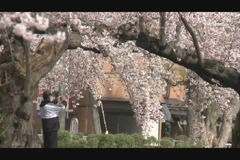 2020長四郎公園の桜